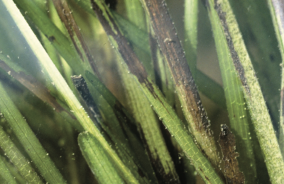 Seagrass Wasting Disease is Affecting our Oceans