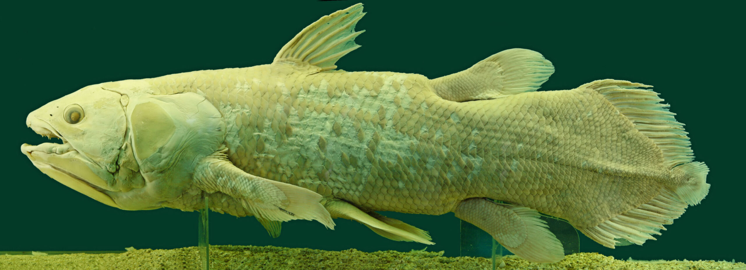Critically endangered ancient fish relative has life a 100 year life span
