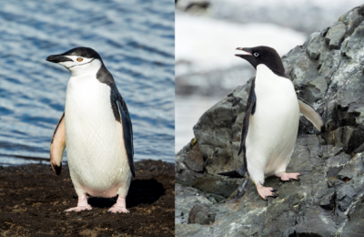 Metals from penguin poop can support life in the Southern Ocean