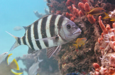 Sheepshead, a lesson from the past