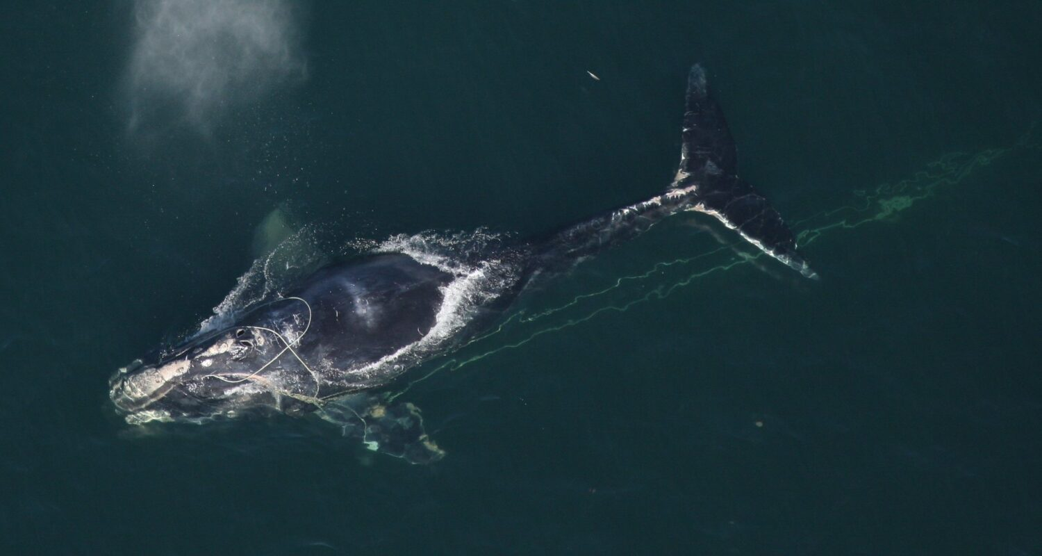 An aerial view of a North Atlantic right whale at the surface with fishing line tangled around it's head and dragging behind it.