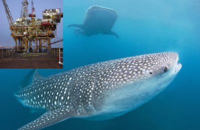 Jaw-some!: Whale Shark Movement Patterns Tied To Oil And Gas Infrastructures