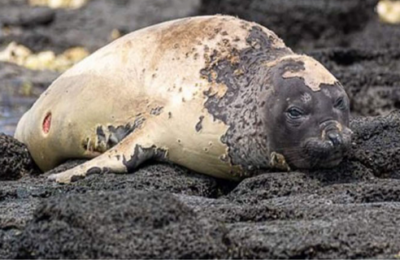 From the poles to the tropics: First molting of a southern elephant seal on Mauritius Island
