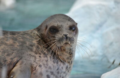 Creatures in the cool lagoon: Are Arctic lagoons the next refuge for ringed seals?