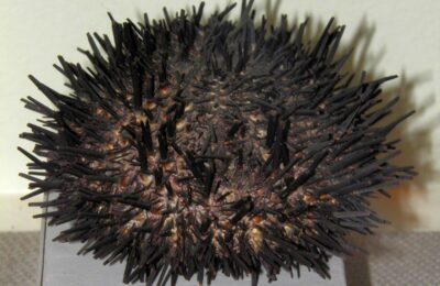 Urchin Unease: Can cues from fellow urchins curb these invertebrates' appetites?